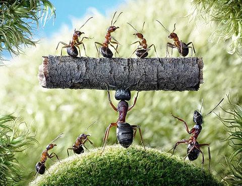Chú kiến khỏe nhất đàn trổ tài khiêng một khúc gỗ và bốn con khác.