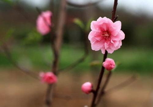 Hình ảnh hoa đào tượng trưng cho mùa xuân. Ảnh: Phương Phương.