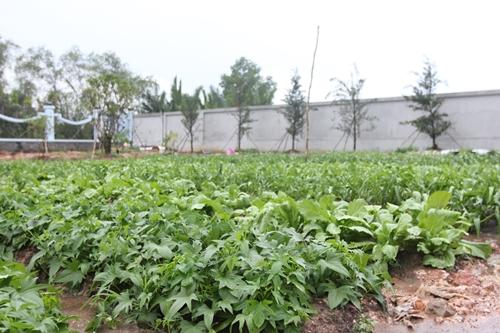 Vườn rau tự trồng của Hoài Linh.