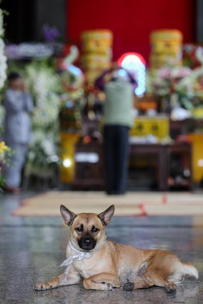 Chú chó Cà Phê túc trực trước linh cữu nghệ sĩ Xuân Hiếu. Ảnh: Thành Nguyễn.