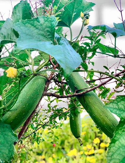 Ngoài hoa và các loại cây trái, gia đình Quyền Linh còn trồng một giàn bầu, mướp, ổ qua, sai quả quanh năm.